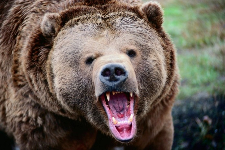 angry-grizzly