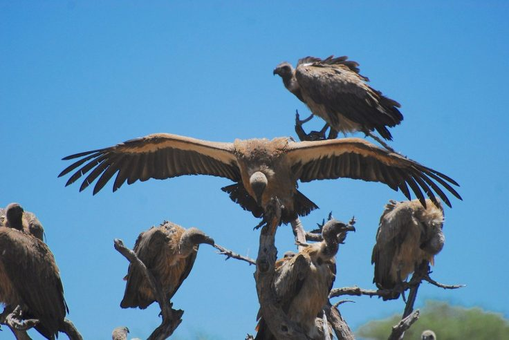 avvoltoi-Guinea-e1583513356641